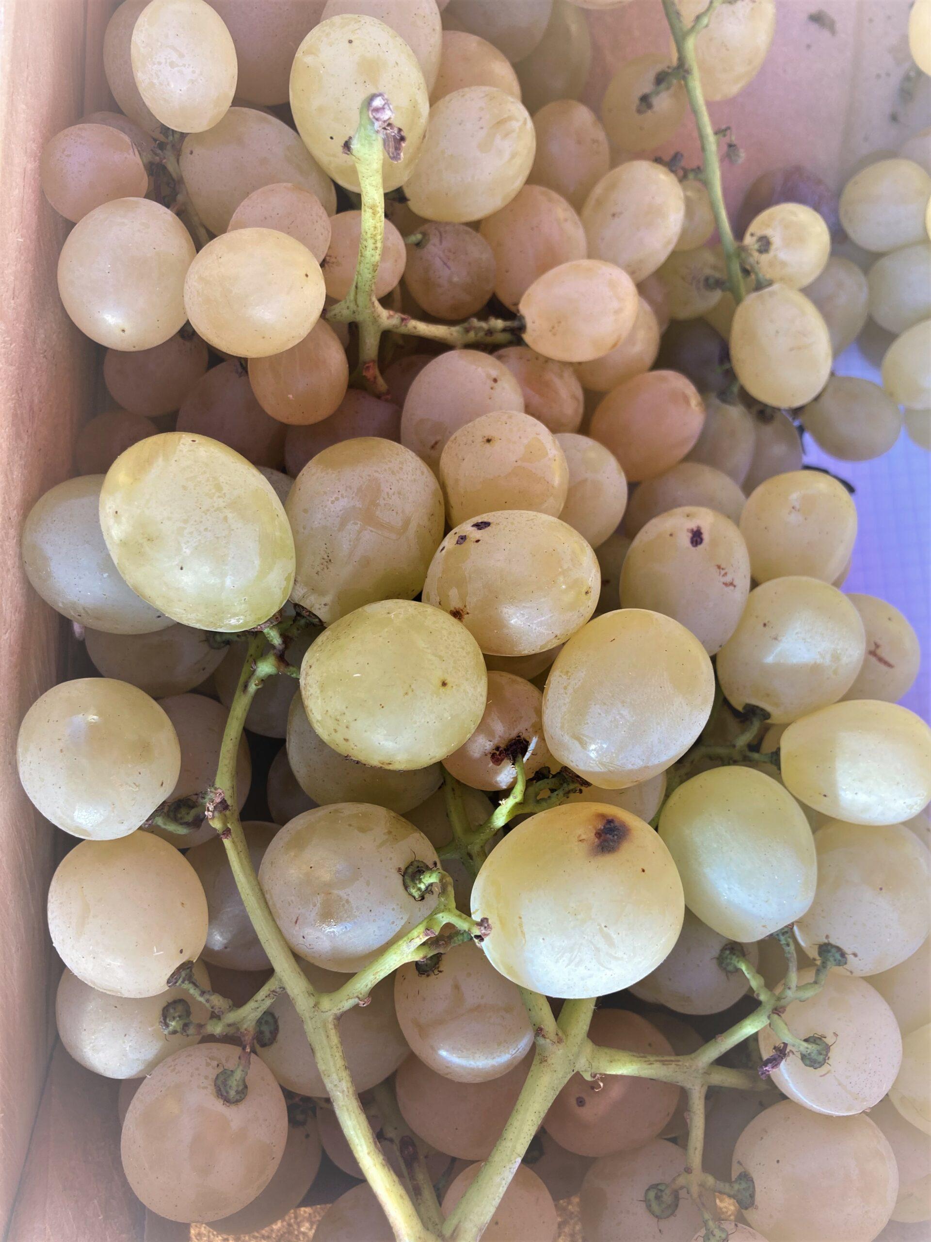 zoom sur une grappe de raisin