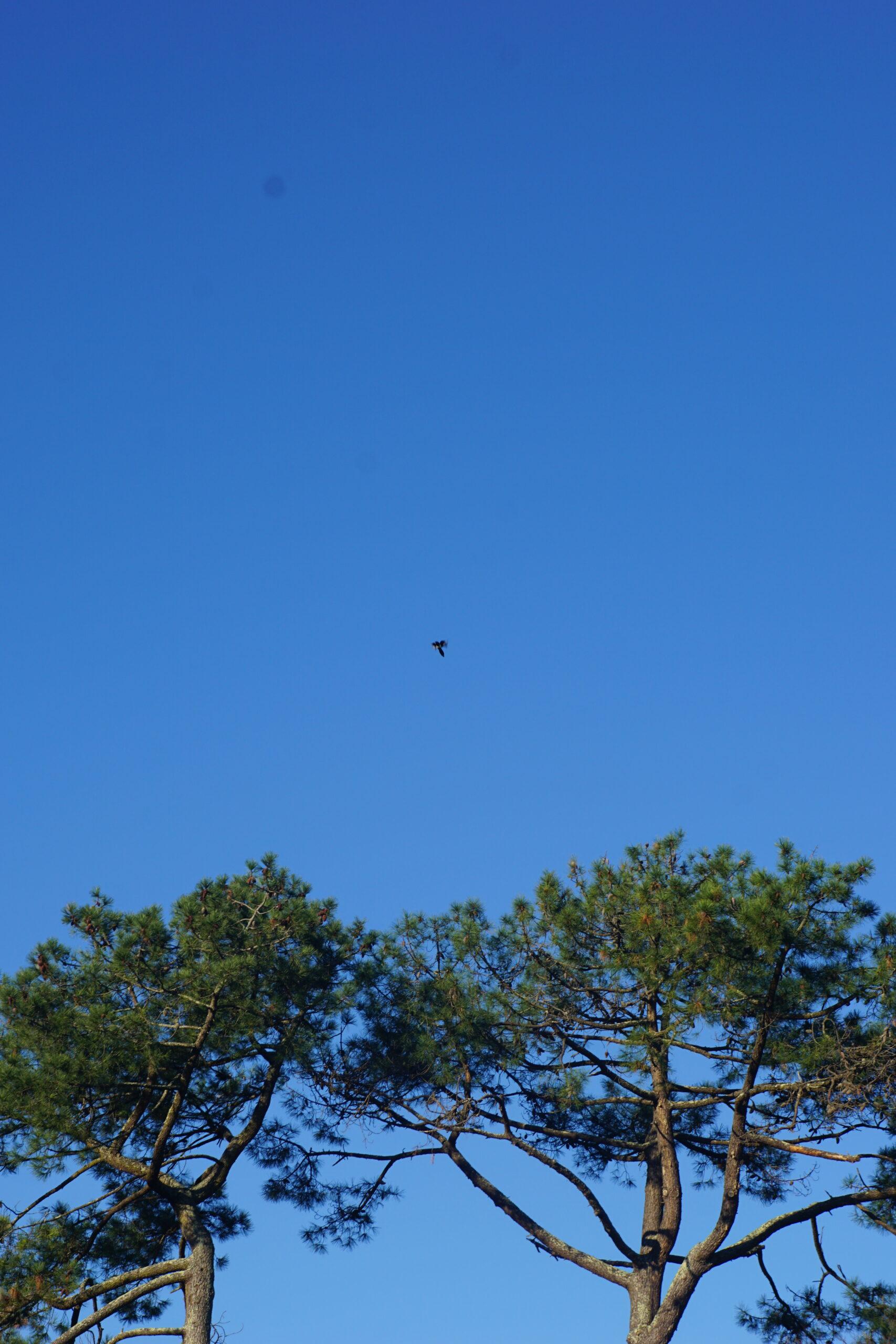Photographie de cimes de pins survolées par un oiseau. Le ciel est bleu et dégagé.