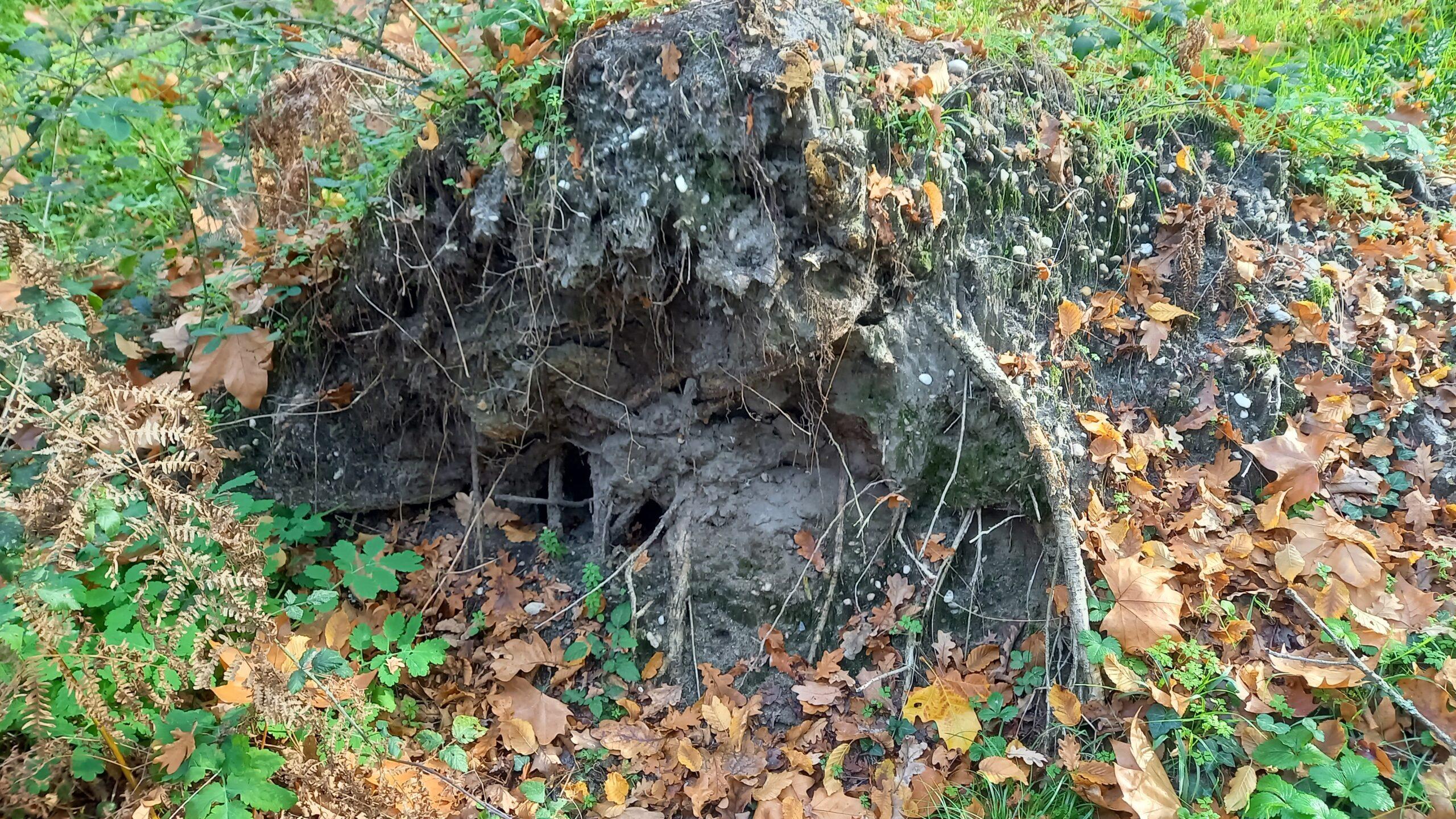 Souche déracinée d'un arbre.