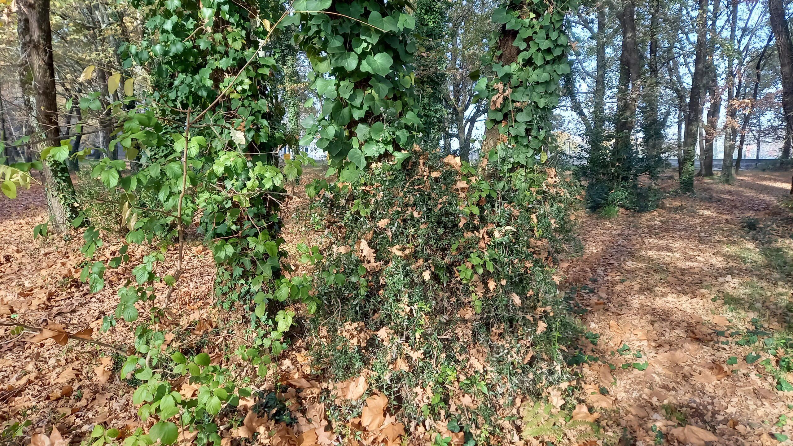 Troncs d'arbres envahis par le lierre.