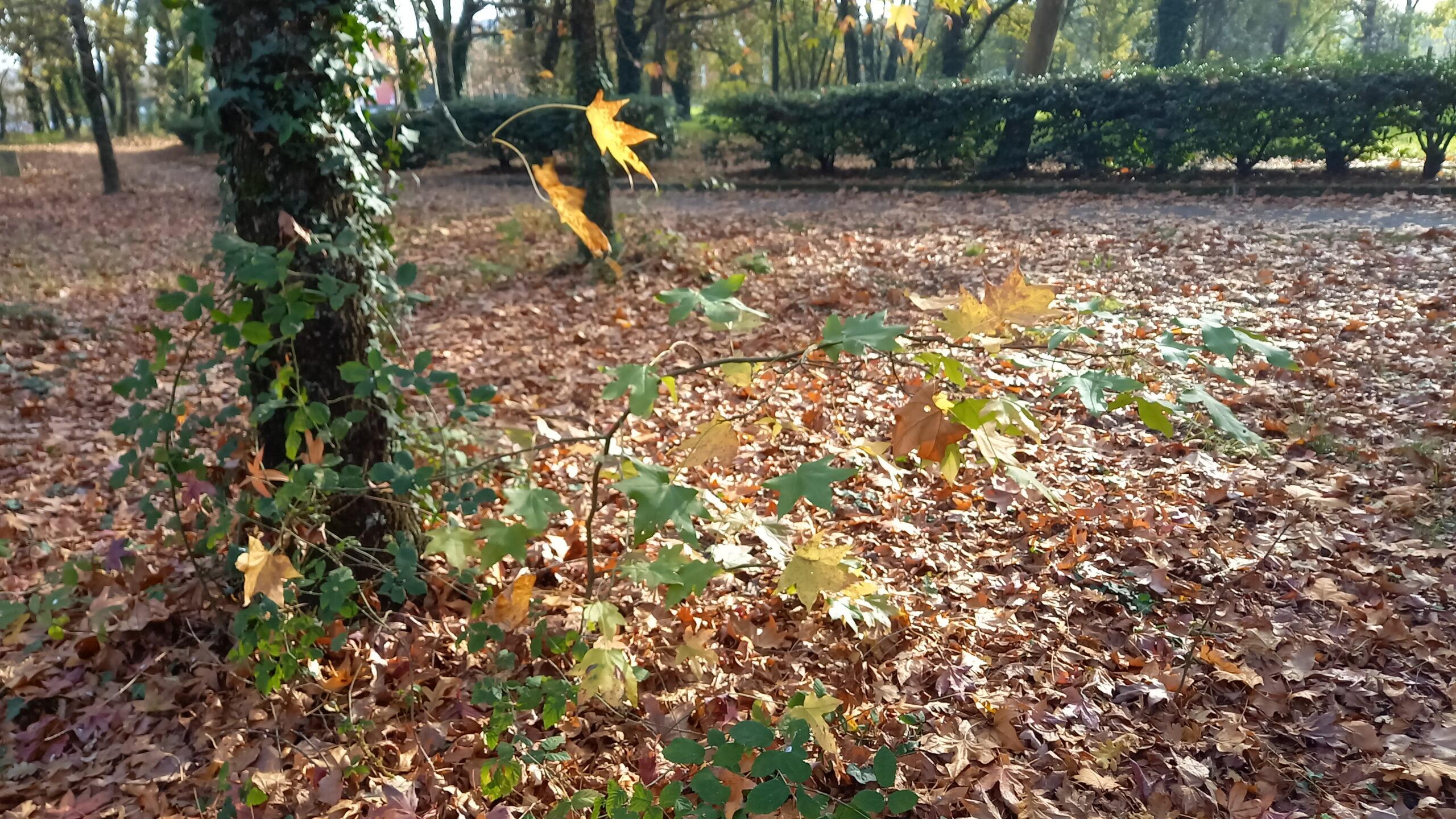 Pousse de platane au pied d'un autre arbre, entouré de feuilles mortes.