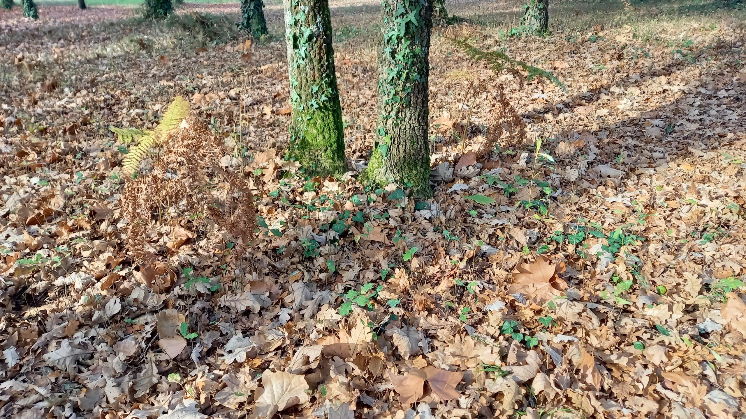 Fougères mortes près de deux arbres.