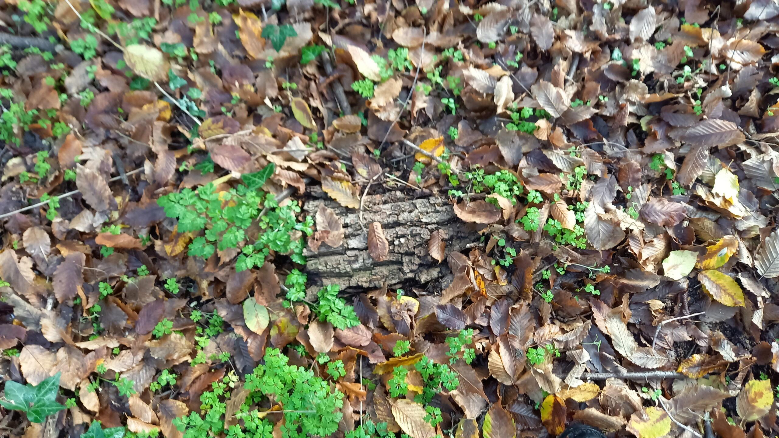 Morceau d'écorce au sol recouvert de feuilles mortes.