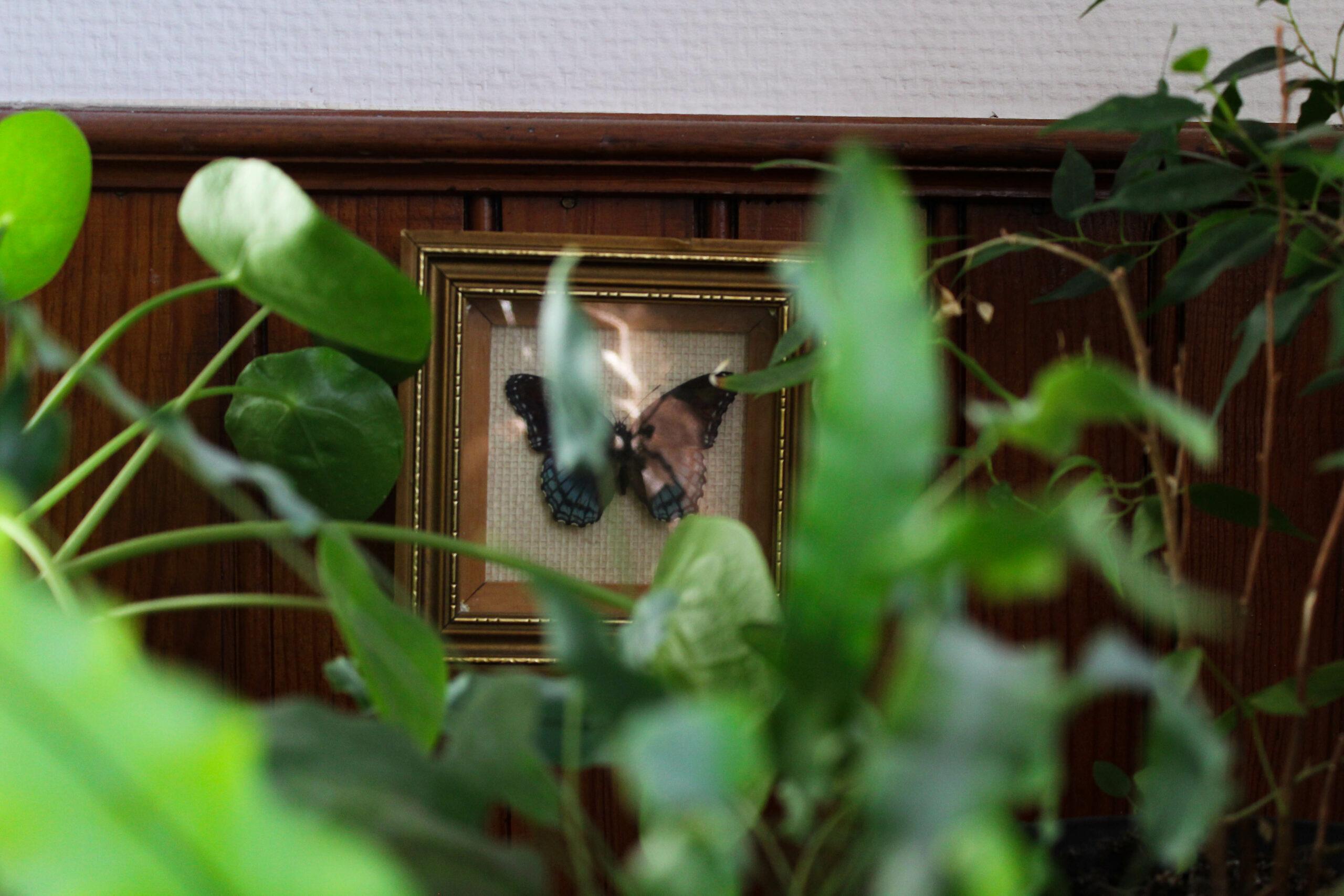 Au premier plan, des plantes d'intérieur. La focale est faite sur un papillon naturalisé disposé derrière, dans un cadre en bois.